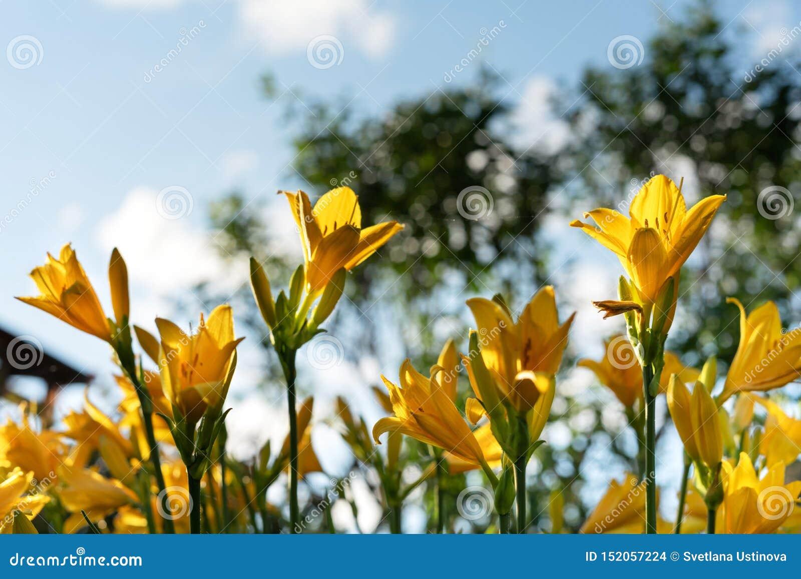Beautiful yellow lily hemerocallis blossoms in evening sunset light of summer garden against blue sky.
