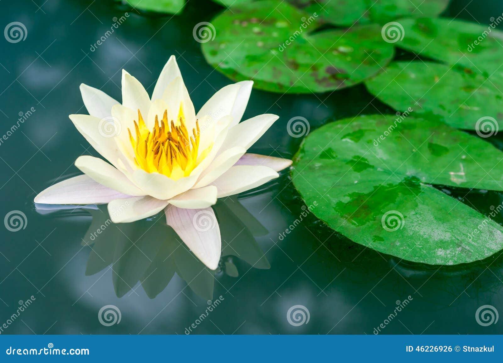 Beautiful Yellow Lotus Flower In Pond Stock Photo Image Of Pool