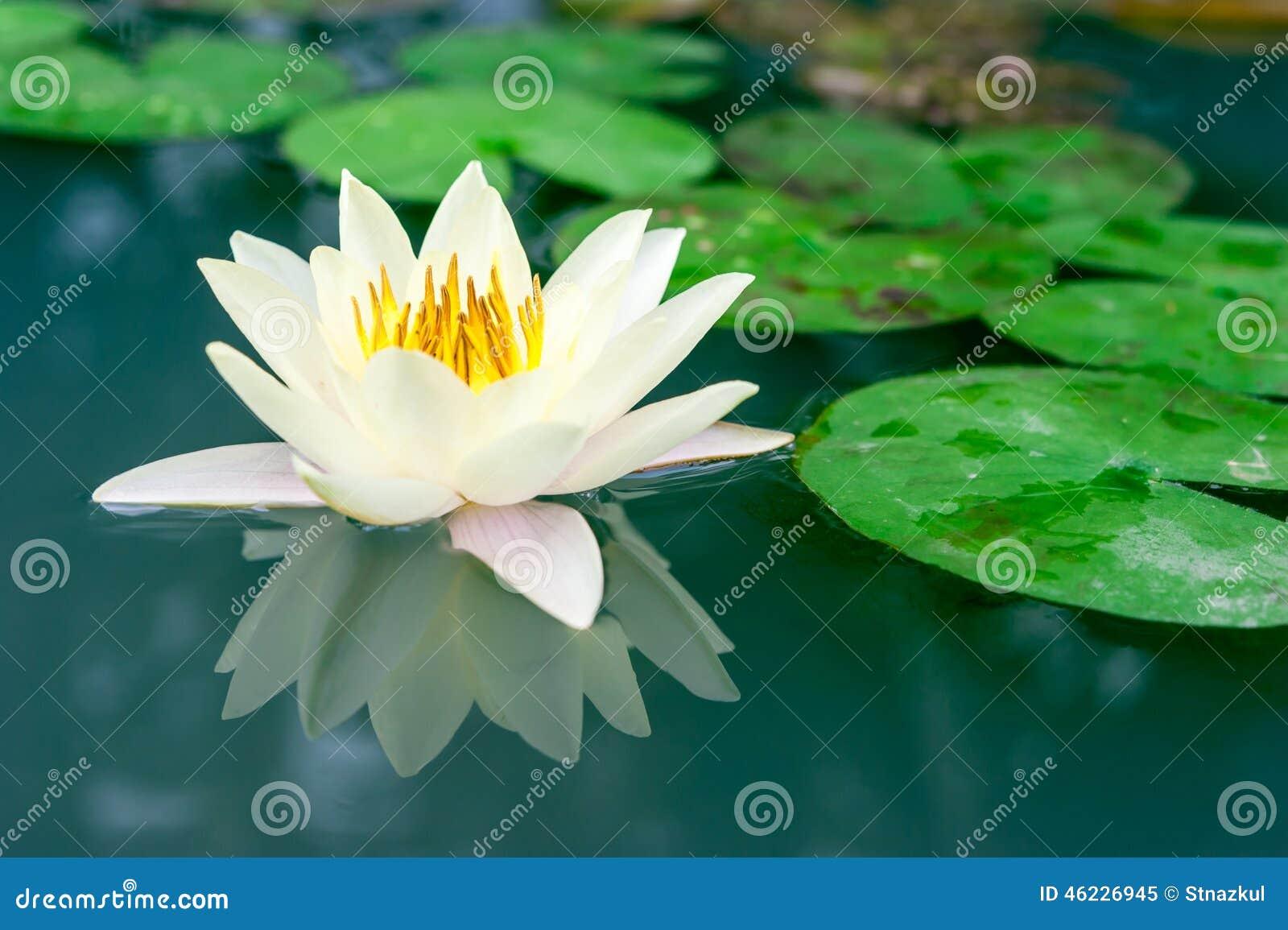 Beautiful yellow lotus flower in pond stock image image of beautiful yellow lotus flower in pond elegance floral izmirmasajfo Gallery
