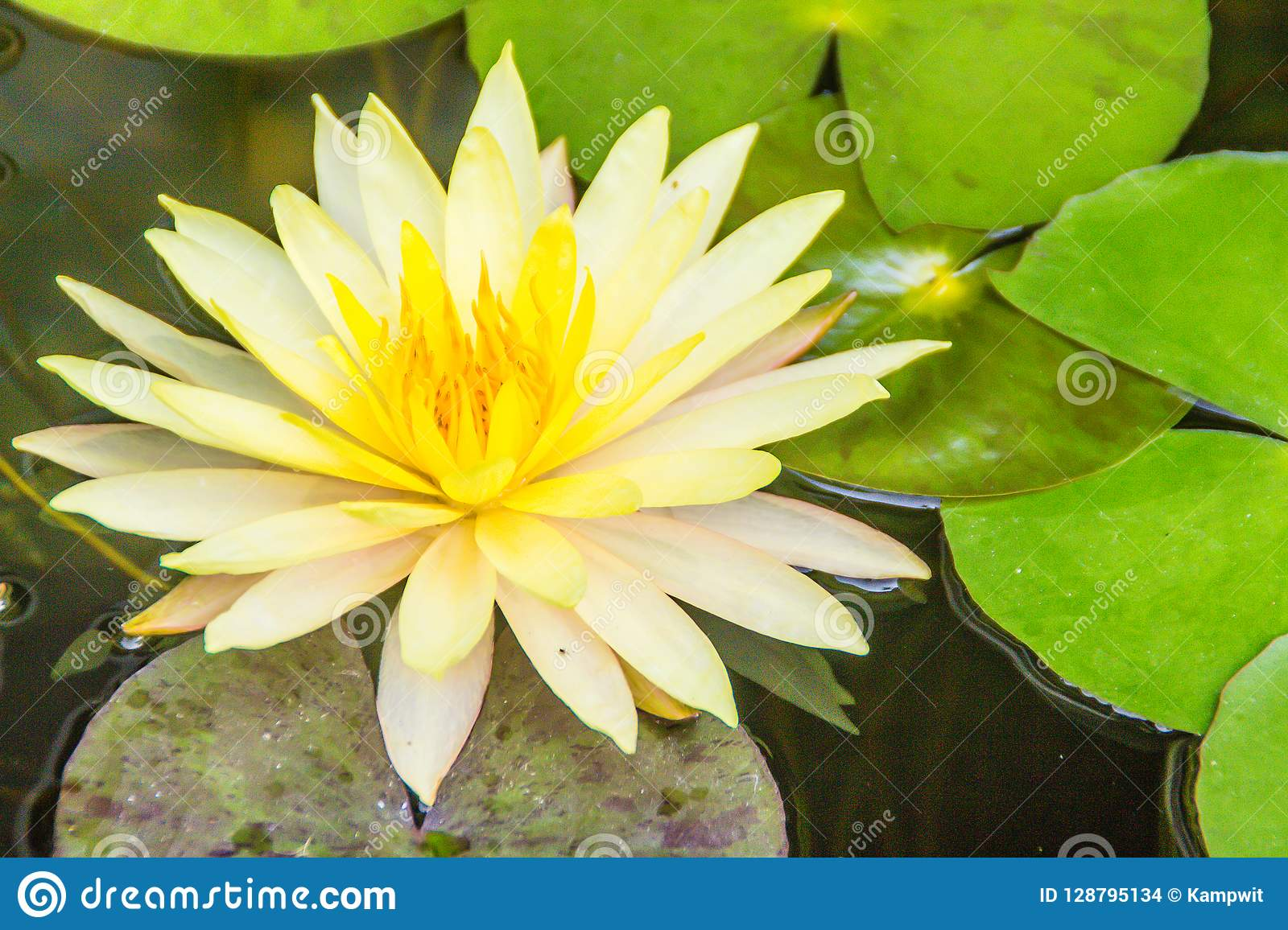 Beautiful Yellow Lotus With Green Leaves In Swamp Pond Peaceful