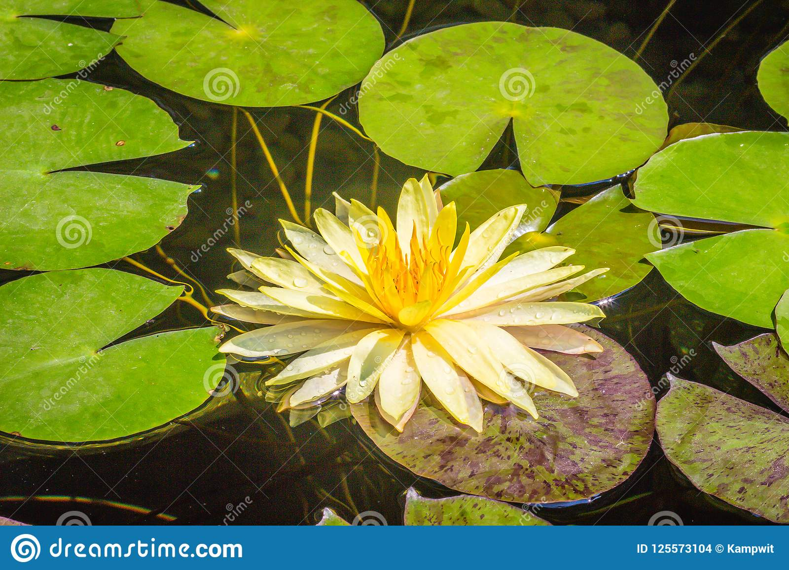 Beautiful yellow lotus with green leaves in swamp pond peaceful download beautiful yellow lotus with green leaves in swamp pond peaceful yellow water lily flowers mightylinksfo