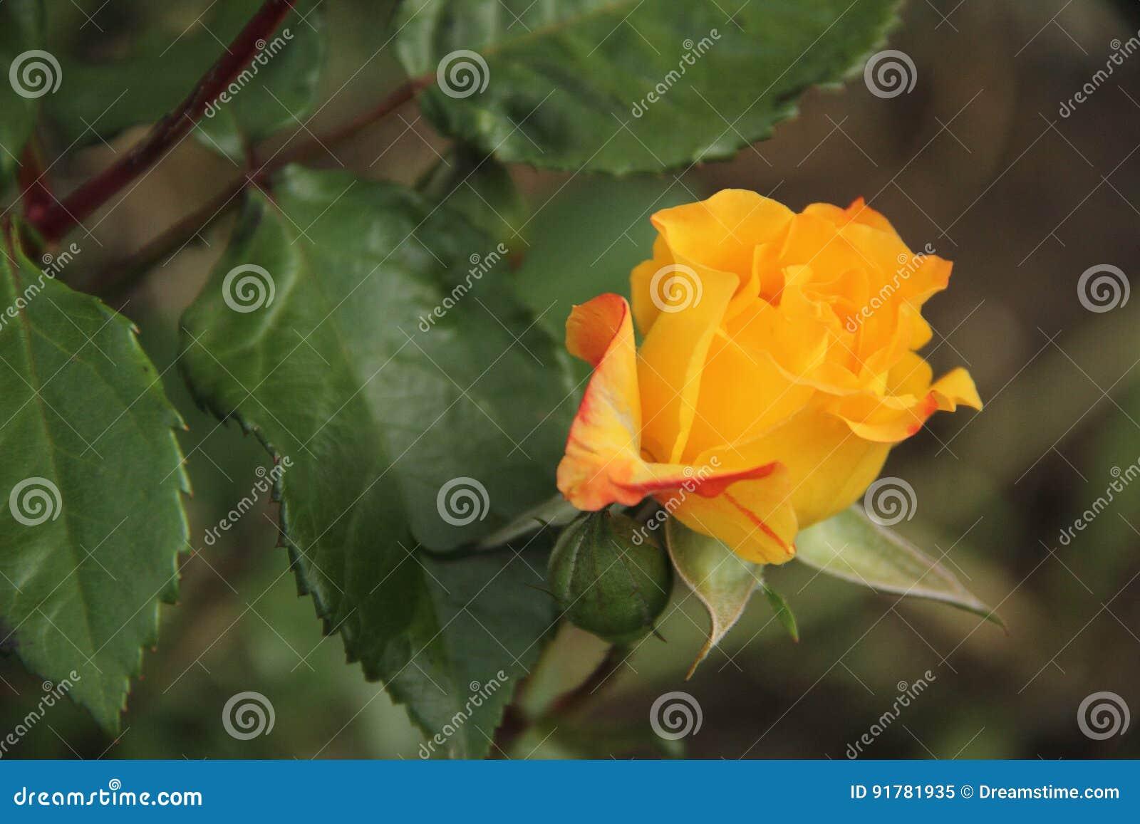 Beautiful yellow orange rose flower in the garden