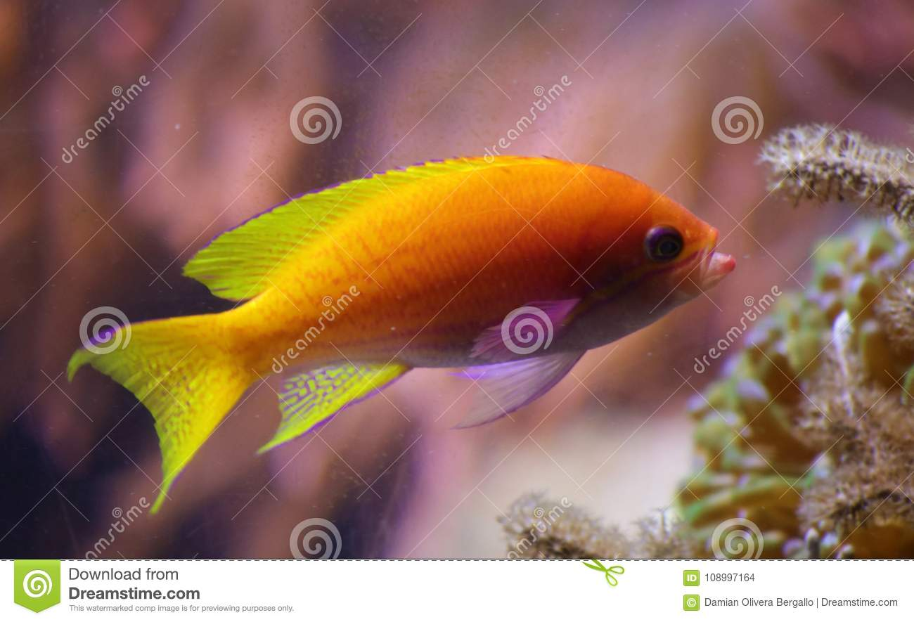 Beautiful yellow orange tropical fish with coral in back