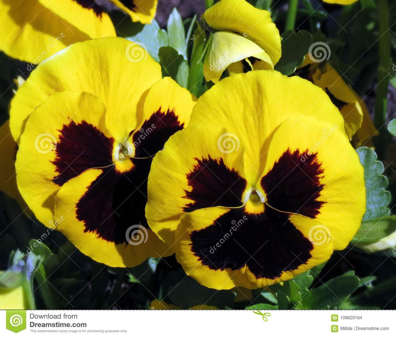 Yellow Pansy Flowers In Garden Lithuania Stock Photo Image Of