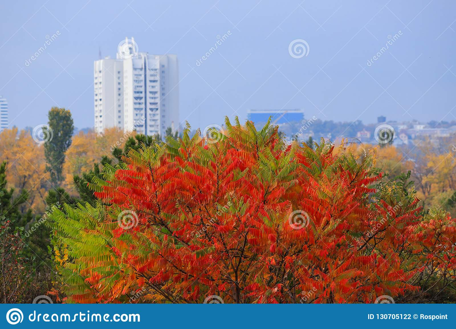 Beautiful yellow, red and green autumn tree on the background of a high white skyscraper in the fall in the Dnepr, Ukraine