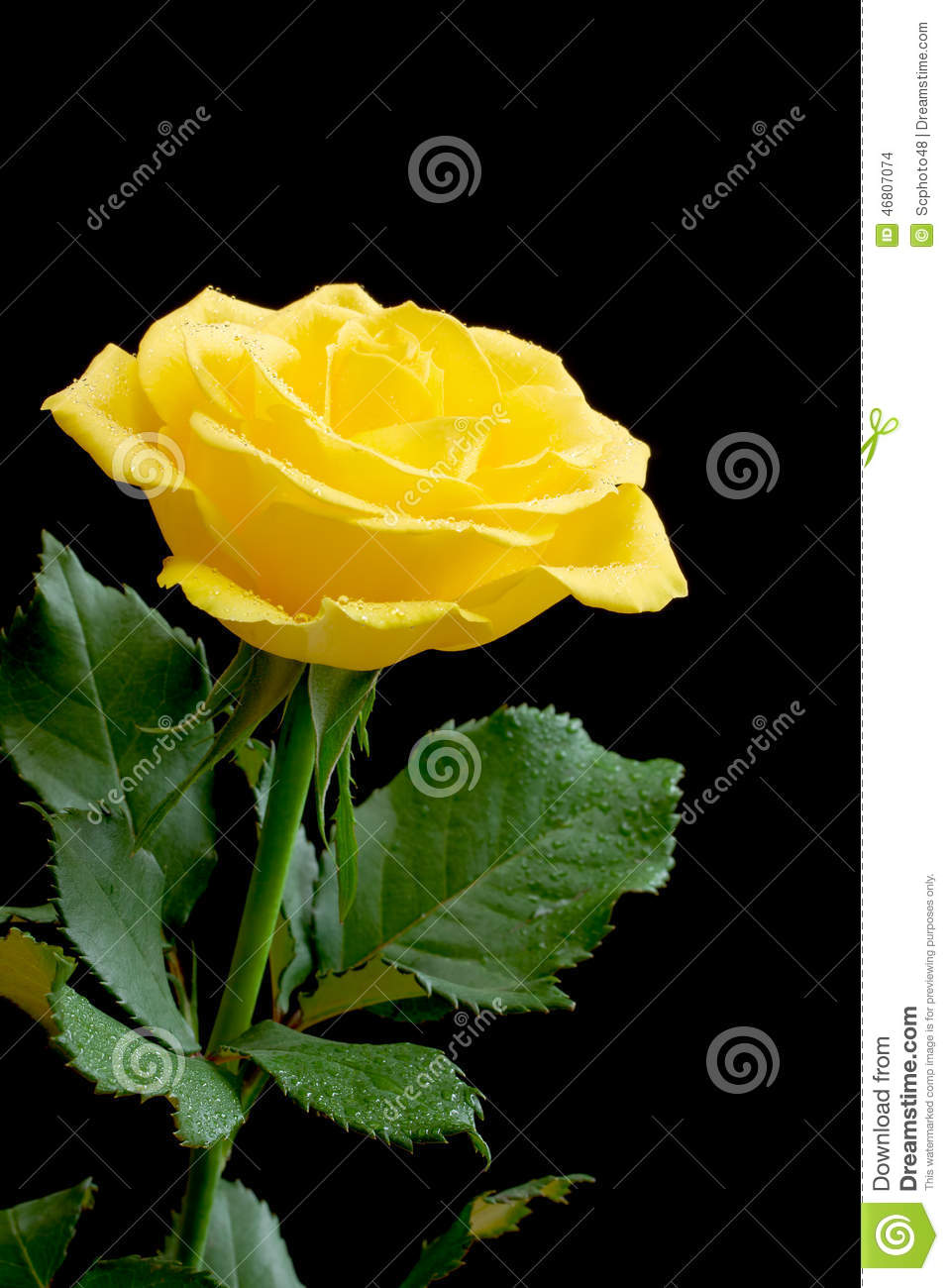 Beautiful Yellow Rose On Black Stock Photo - Image: 46807074
