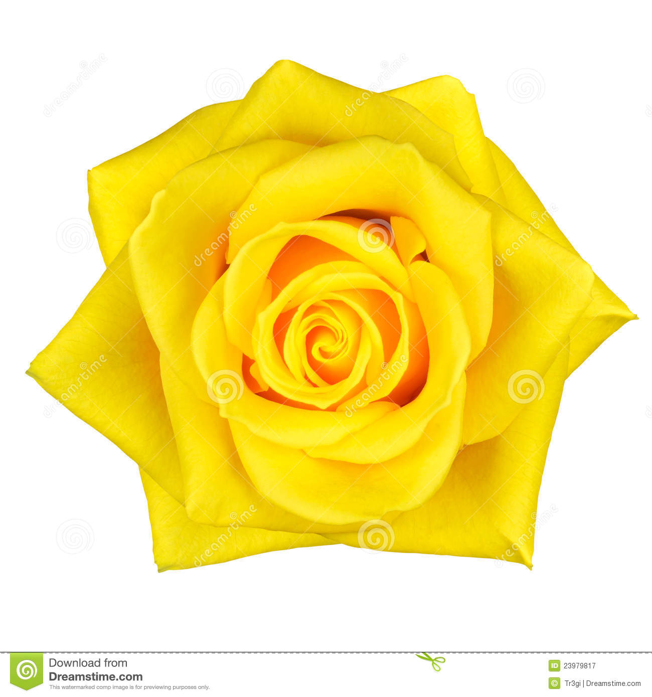 Beautiful Yellow Rose Flower Isolated On White Stock Image Image