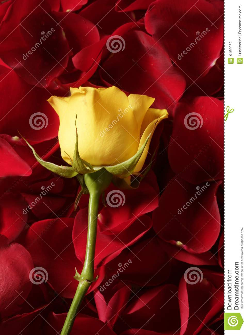 Beautiful yellow rose flower over red petals stock photography background beautiful flower petals red rose dhlflorist Image collections