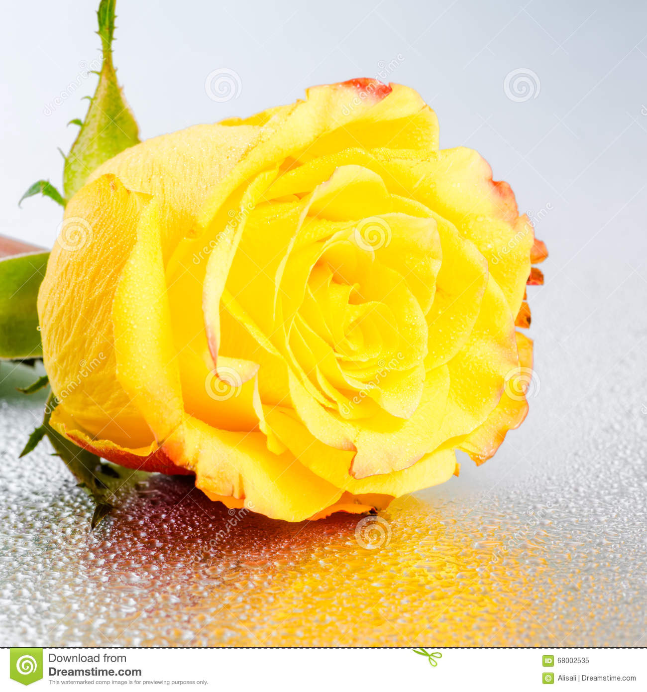 Beautiful Yellow Rose Flower On Silver Background With Dew And R