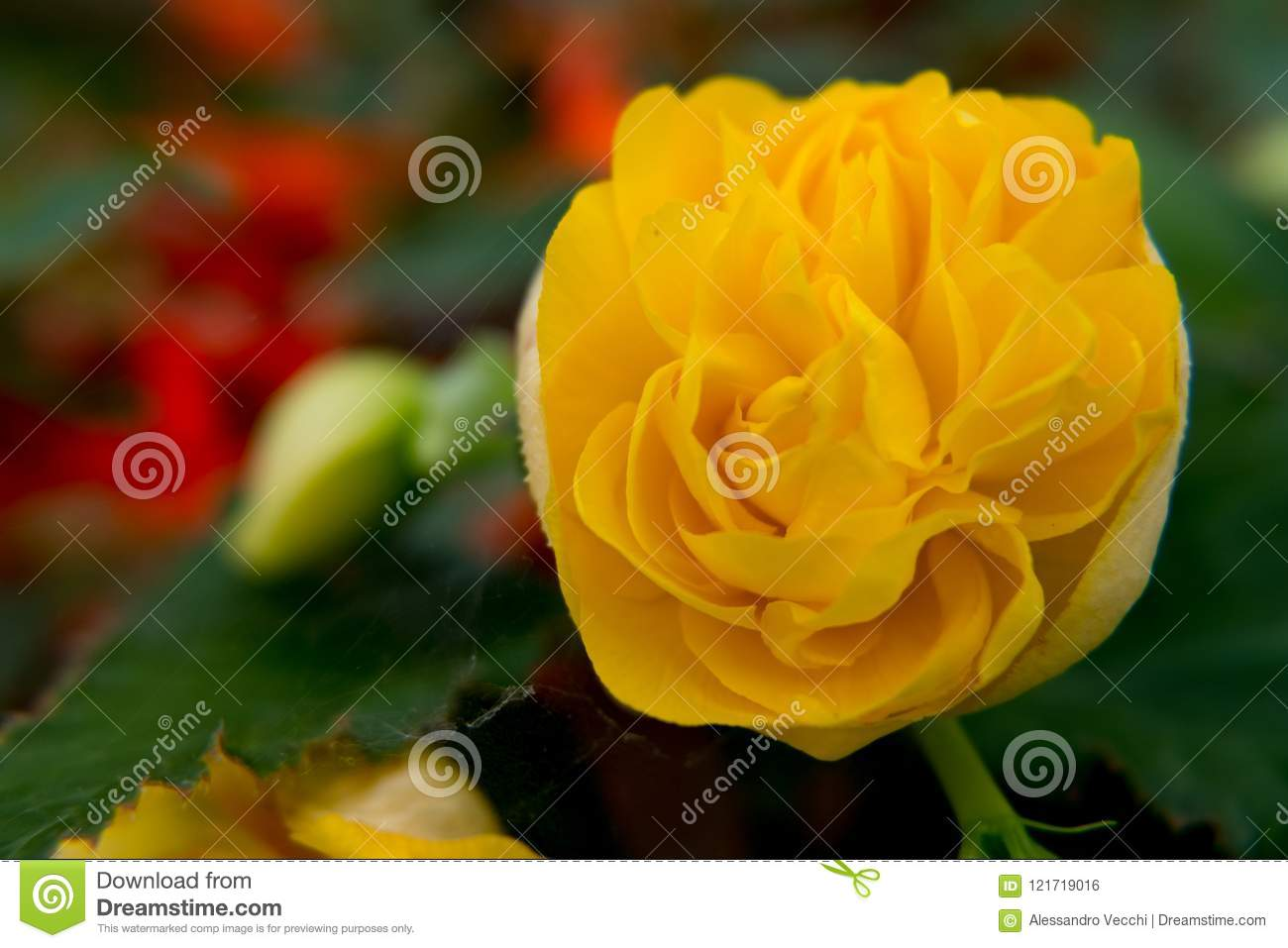 Beautiful Yellow Rose Flower Wallpaper Stock Photo Image Of Leaf