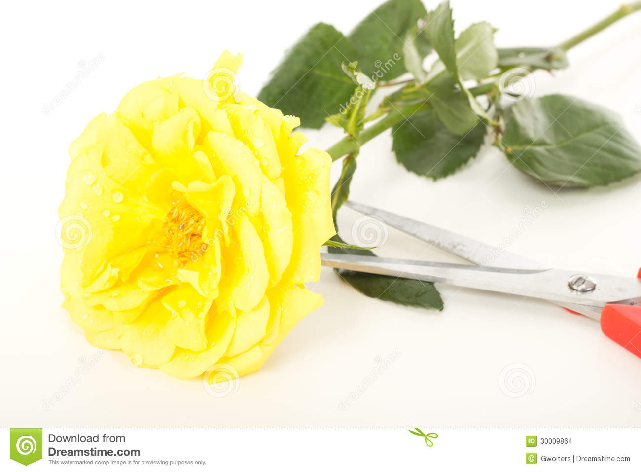 Yellow Rose With Water Drops: Yellow Rose With Water Drops Stock Photo