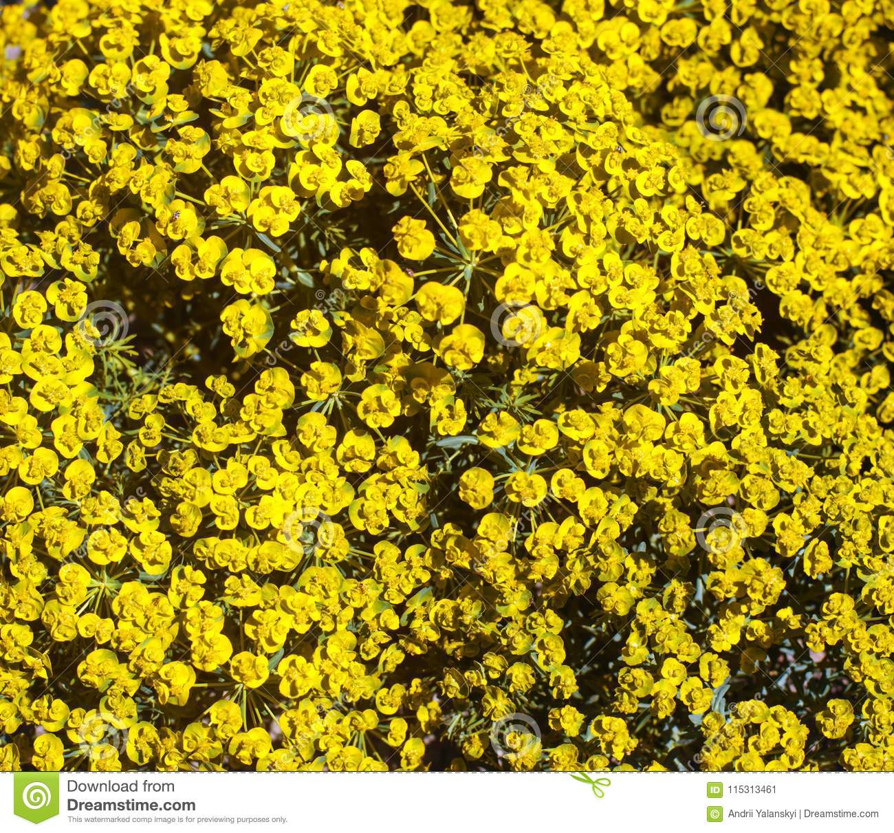 Beautiful Yellow Spring Flowers With Green Leaves Background For