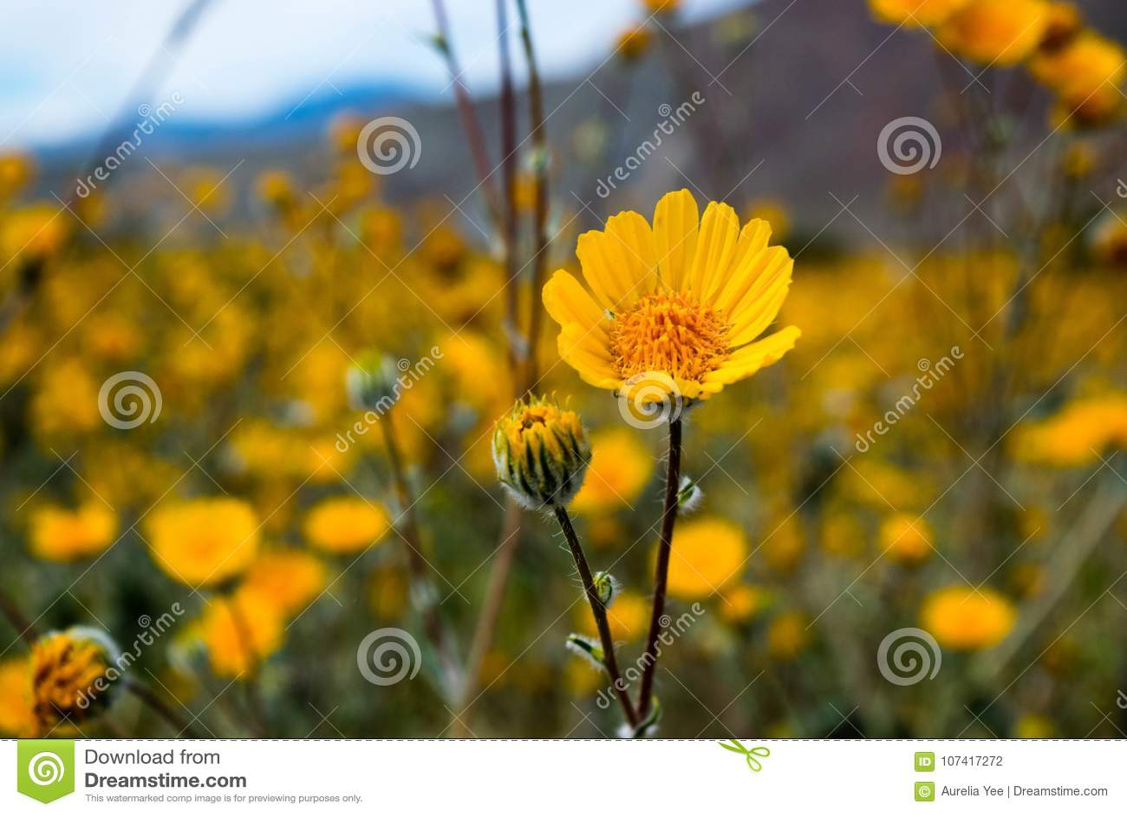 Sun Flower At Anza Borrego Desert Stock Photo Image Of Yellow