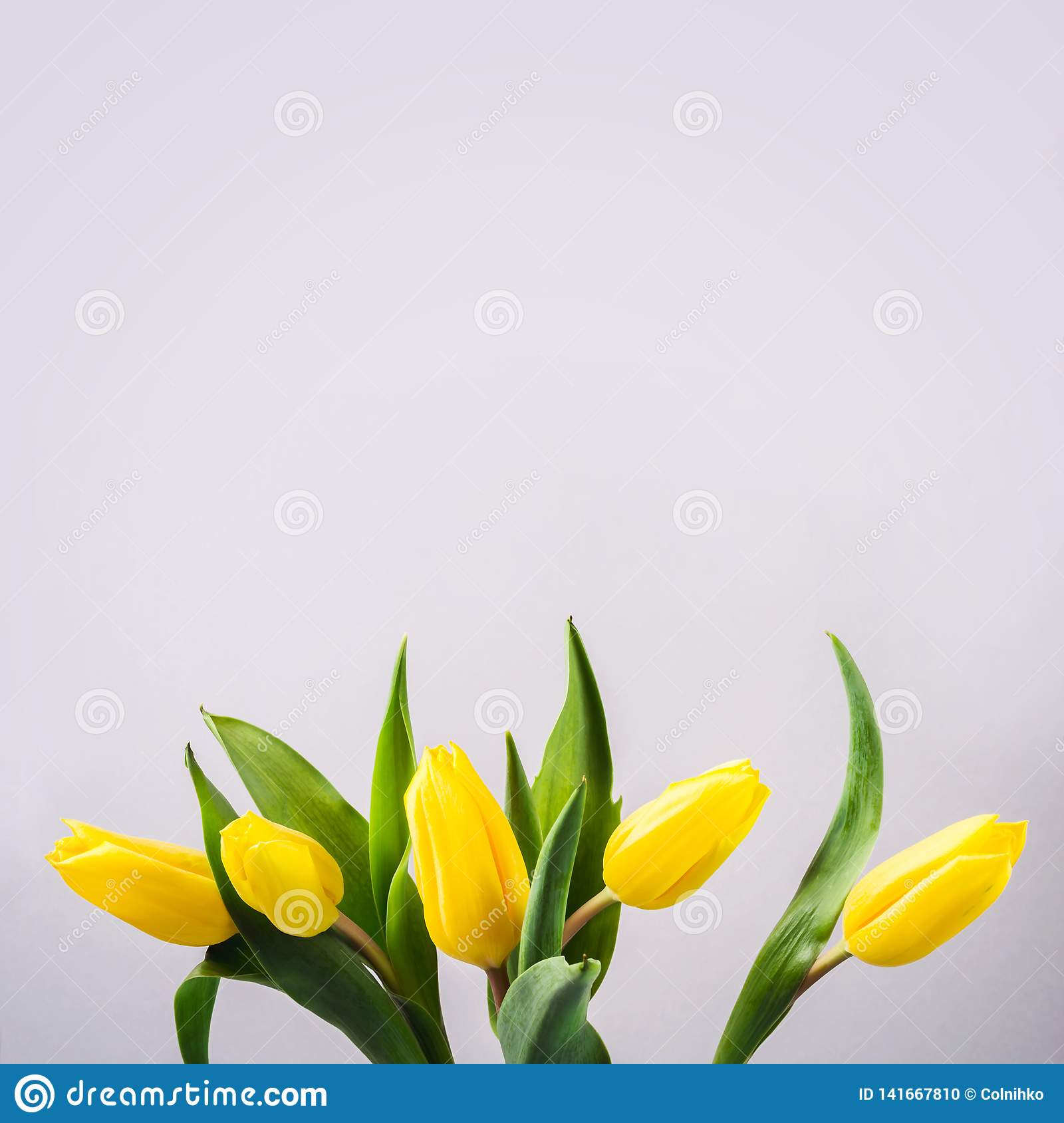 Beautiful yellow tulip flowers on gray background for greeting message. Holiday mock up