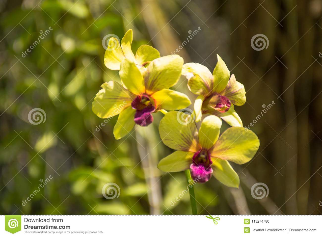 Beautiful Yellow Vibrant Orchid Flowers In The Tropical Garden Stock