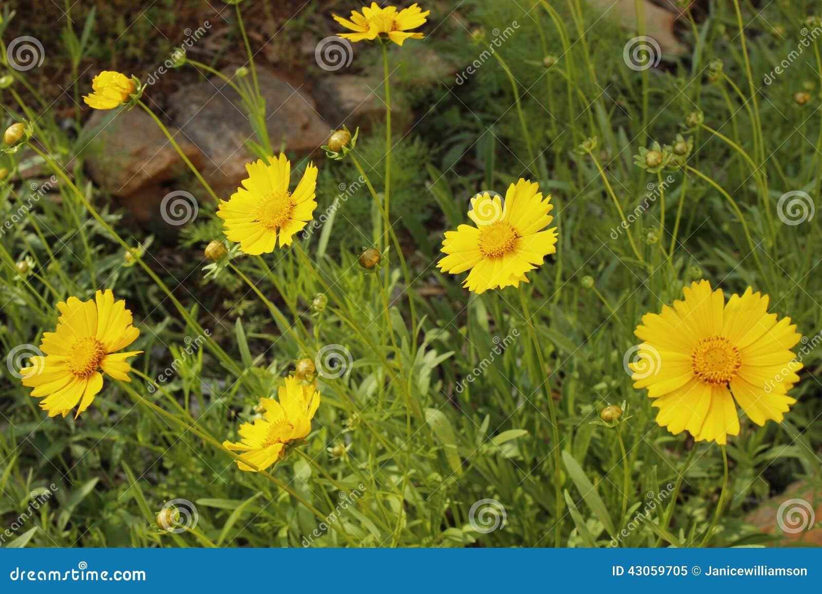 Beautiful yellow wild flower garden georgia in may stock image royalty free stock photo mightylinksfo