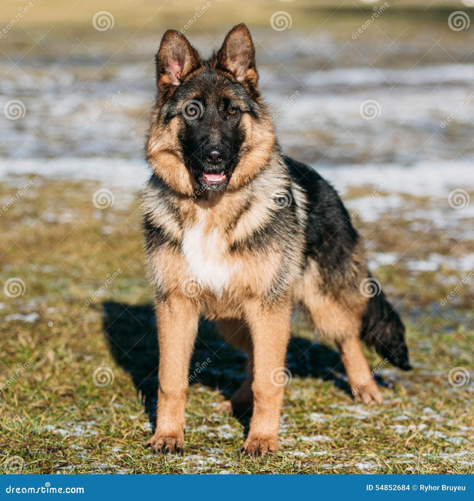 Beautiful Young Brown German Shepherd Puppy Dog Stock