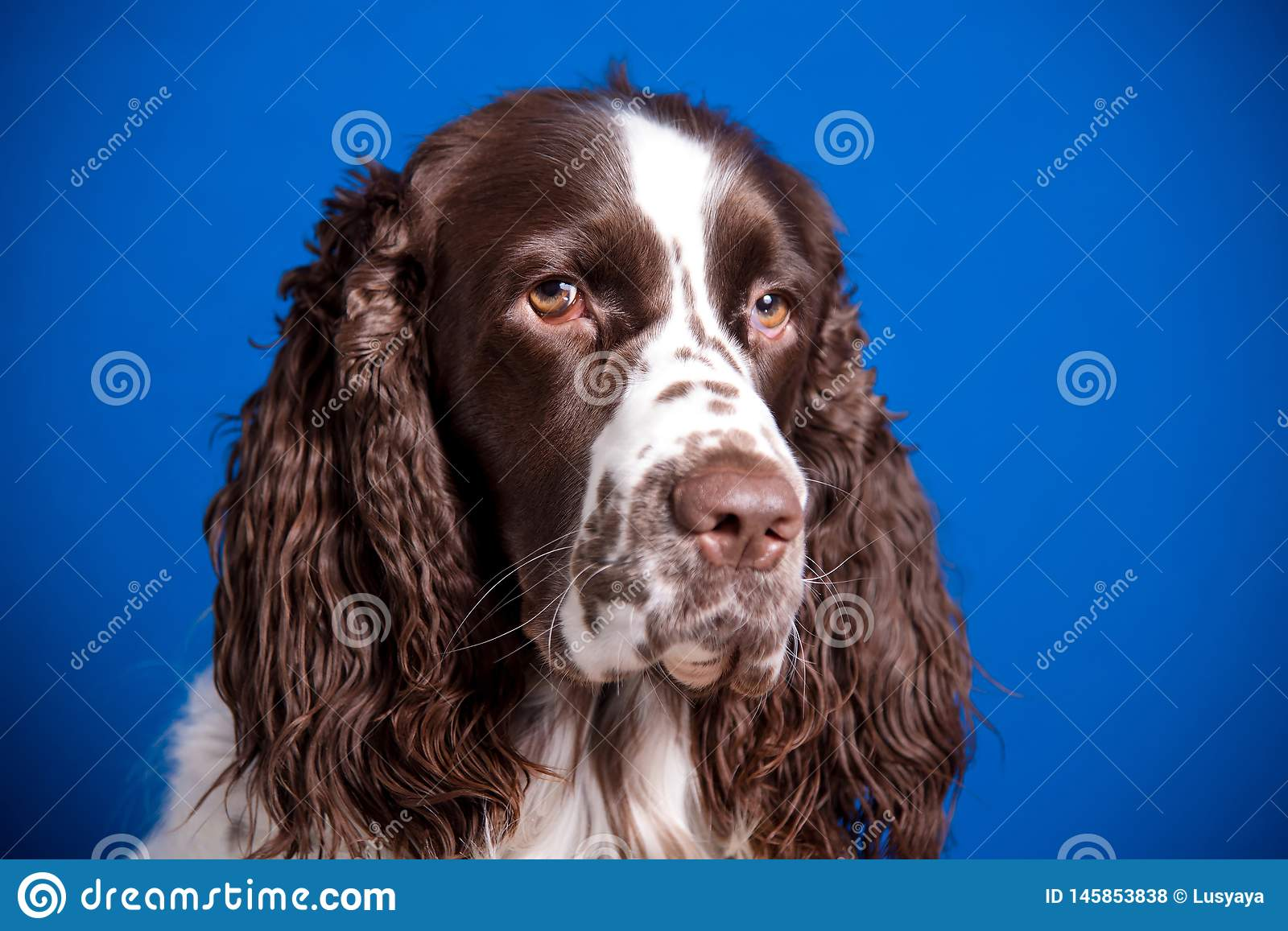 Beautiful Young Dog Breed English Springer Spaniel On Blue