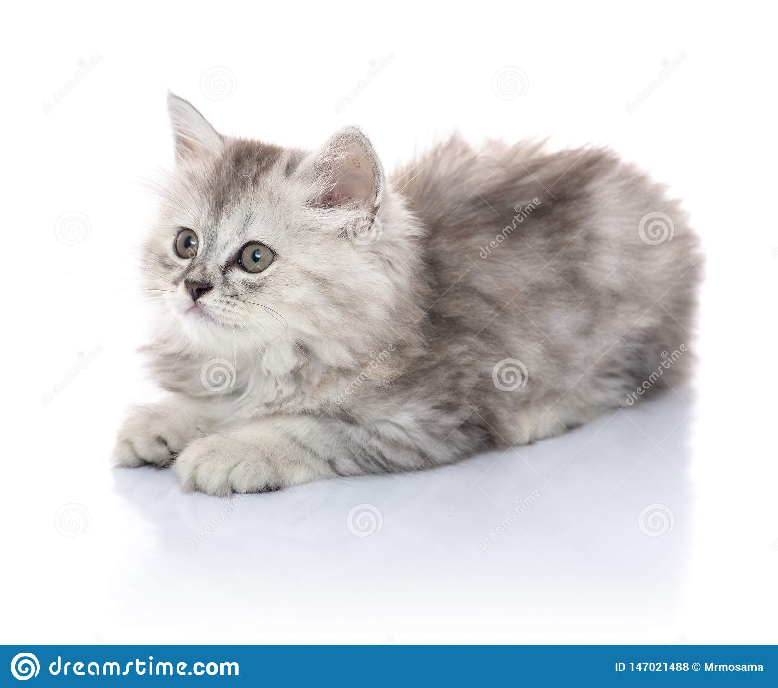 Beautiful Young Furry Kitten Sitting on White Board, Looking Away, Isolated on Blank White Background