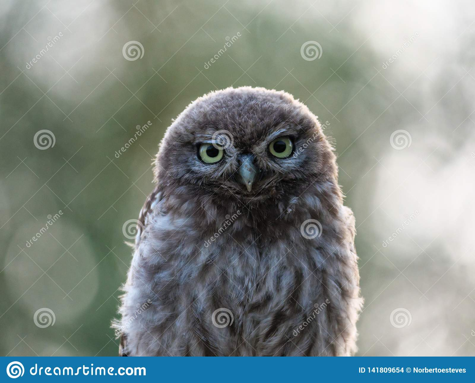 Beautiful young Little-owl