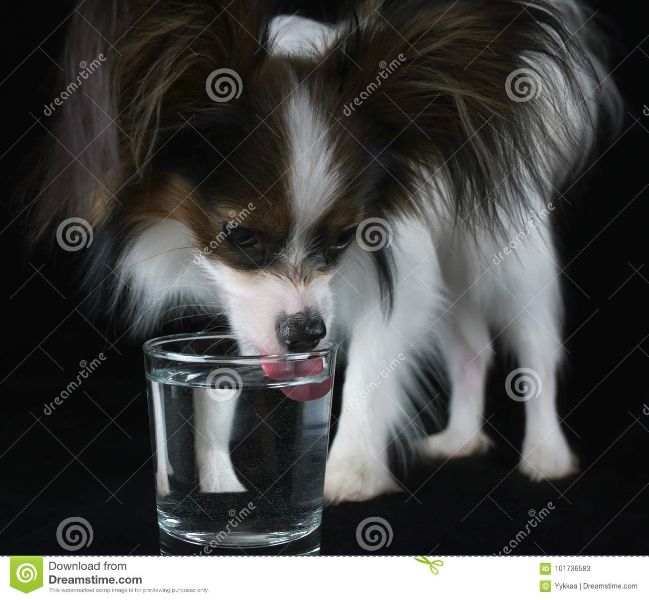 Beautiful young male dog Continental Toy Spaniel Papillon drinks clean water from a glass on black background