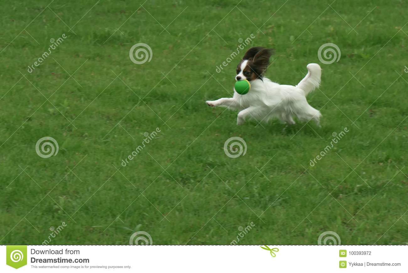 Beautiful young male dog Continental Toy Spaniel Papillon playing with ball on green lawn