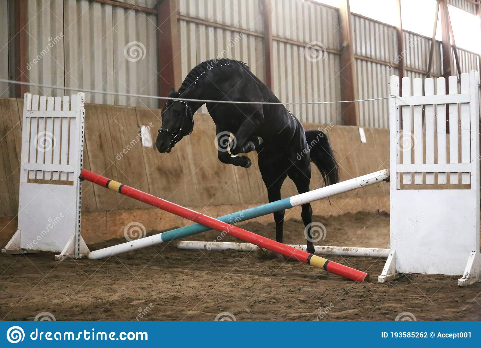 Beautiful Young Purebred Horse Jump Over Barrier Free Jumping In The Riding Hall Stock Photo Image Of Animals Beast 193585262