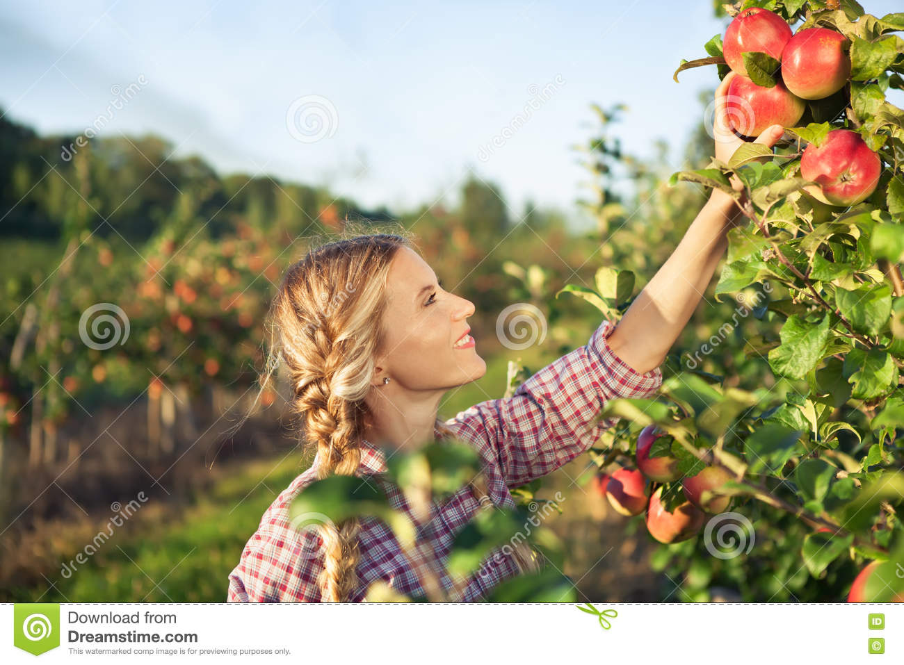 Beautiful young woman picking ripe organic apples
