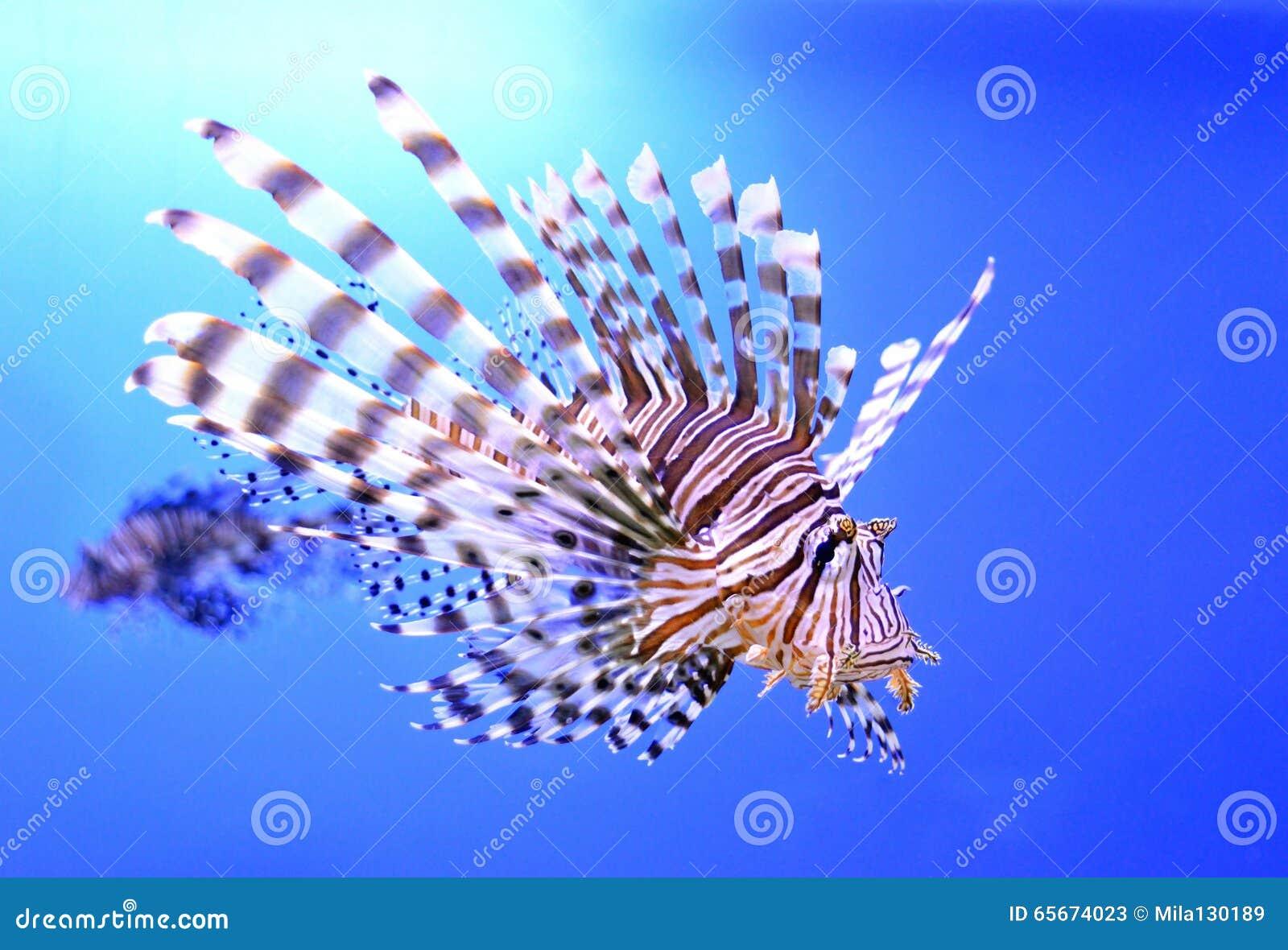 Beautiful Zebra Fish Or Striped Lionfish In The Aquarium Stock Image Image Of Saltwater Exotic 65674023