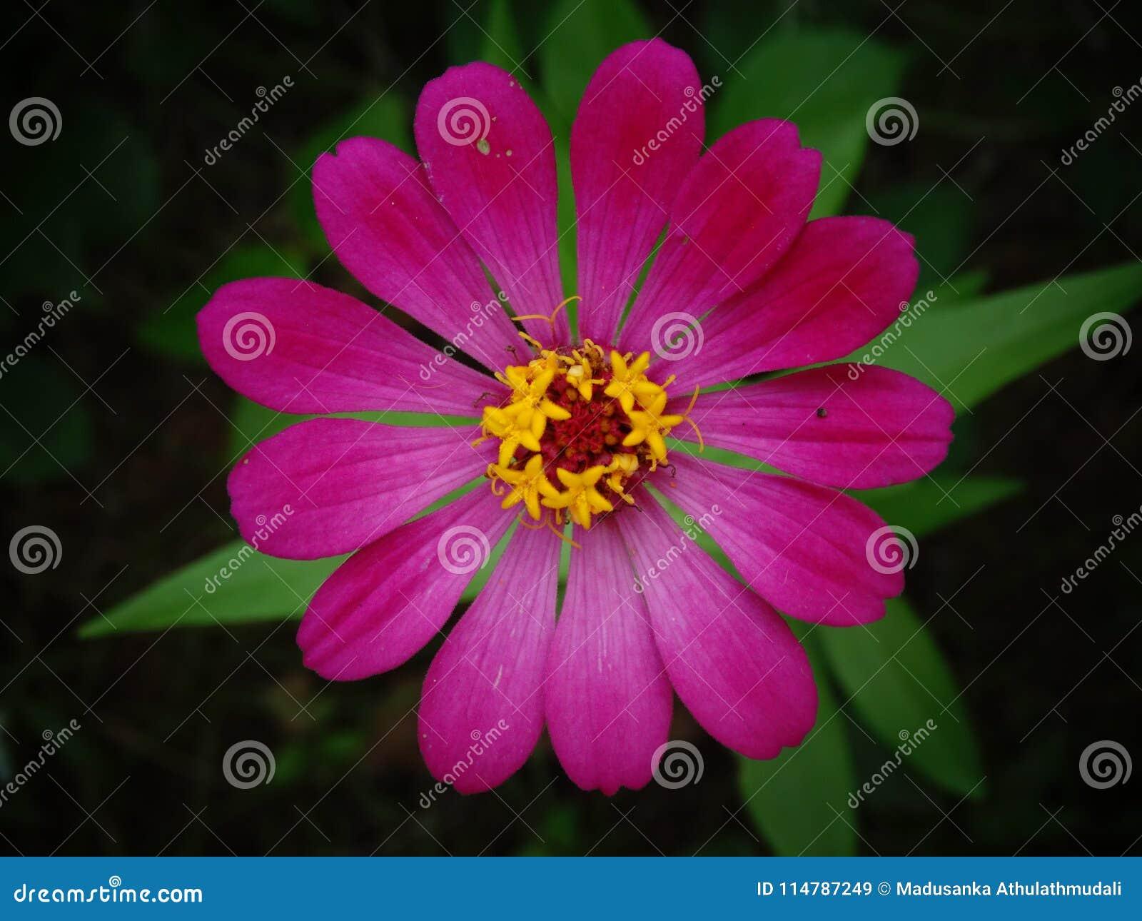 Beautiful zinnia flower closeup image