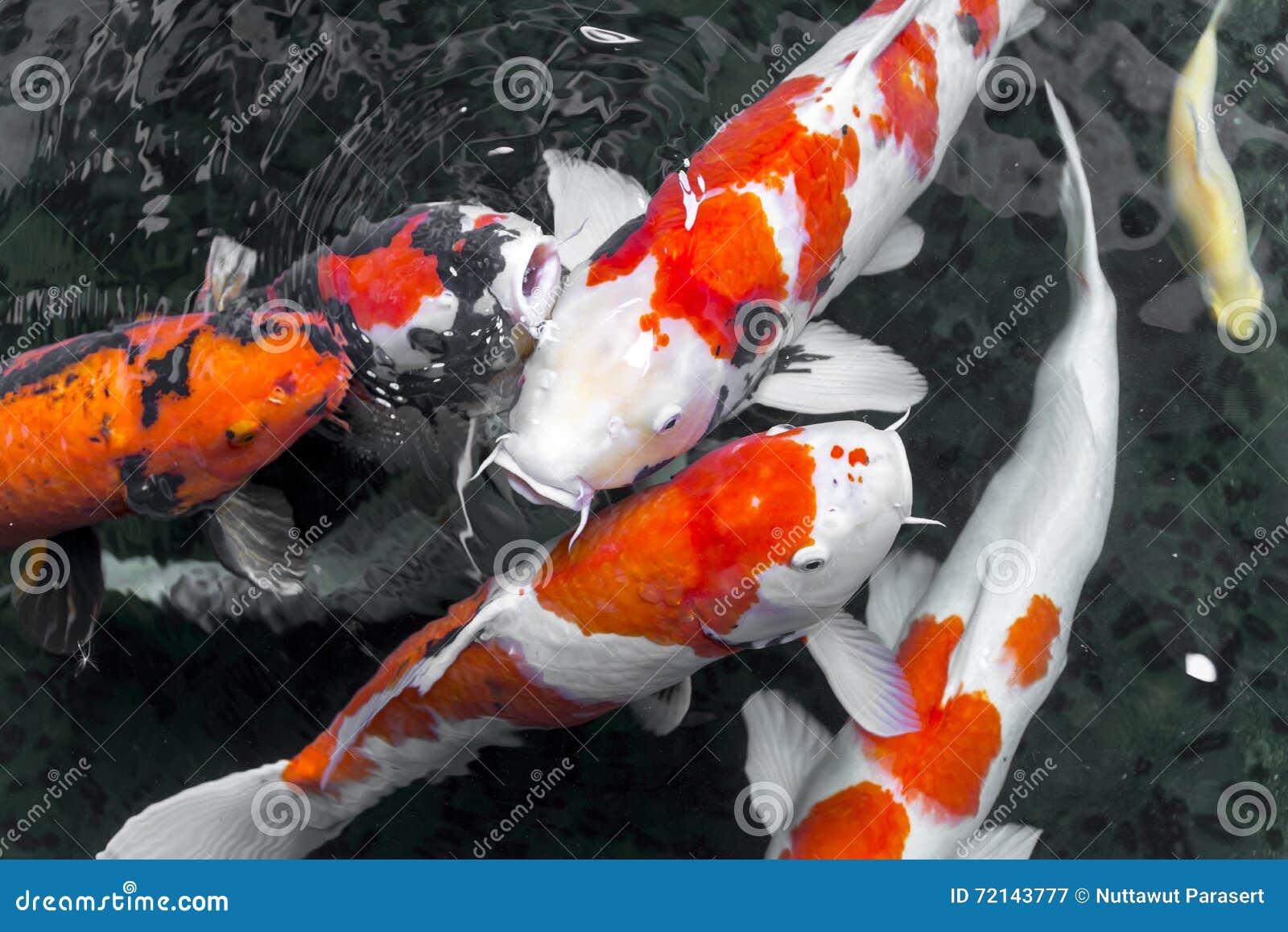 Beautifulfish carp fancy koi fish swimming in pond for Koi fish swimming
