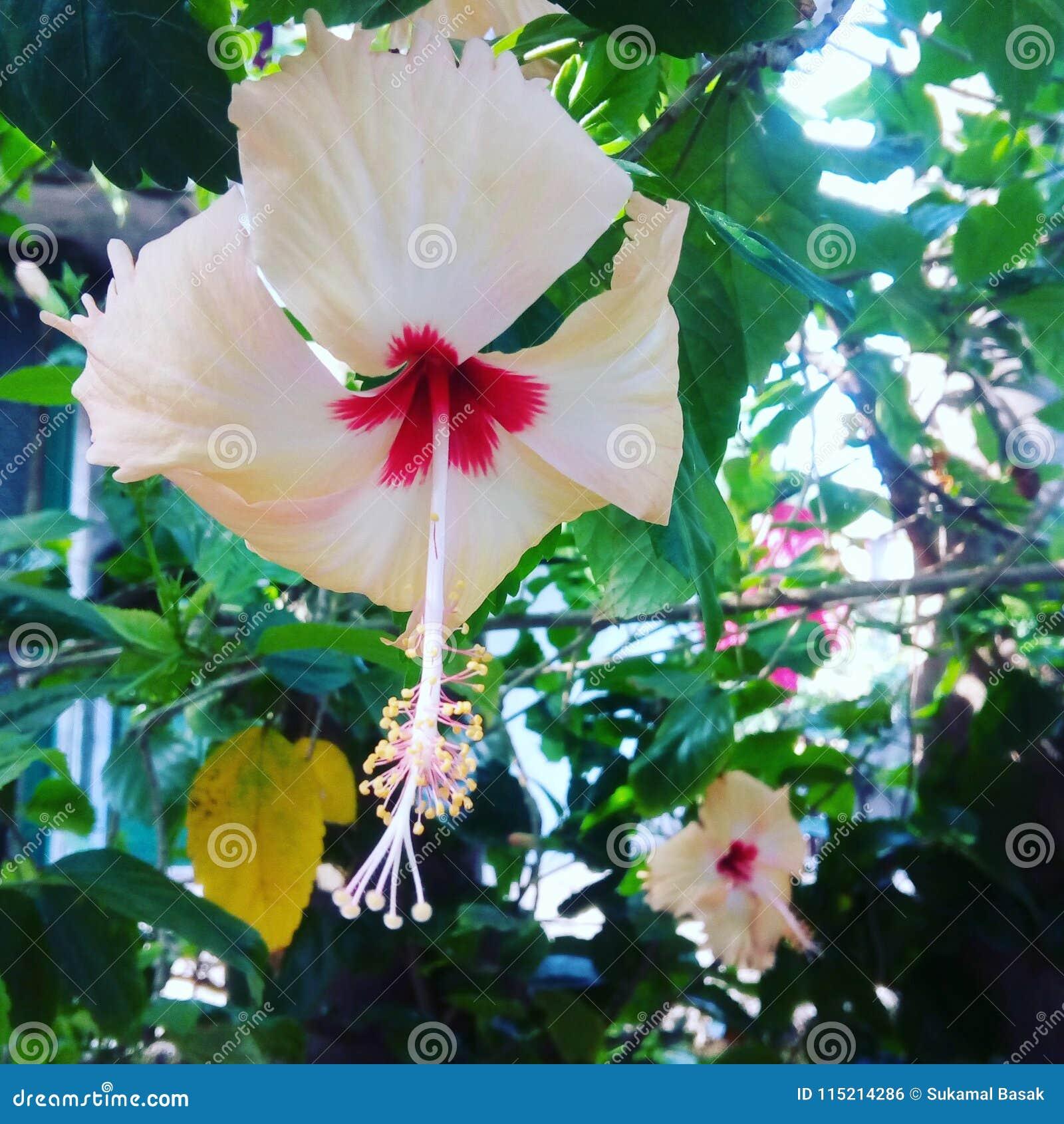 Joba Stock Photo Image Of Flowers Joba Indian Name 115214286