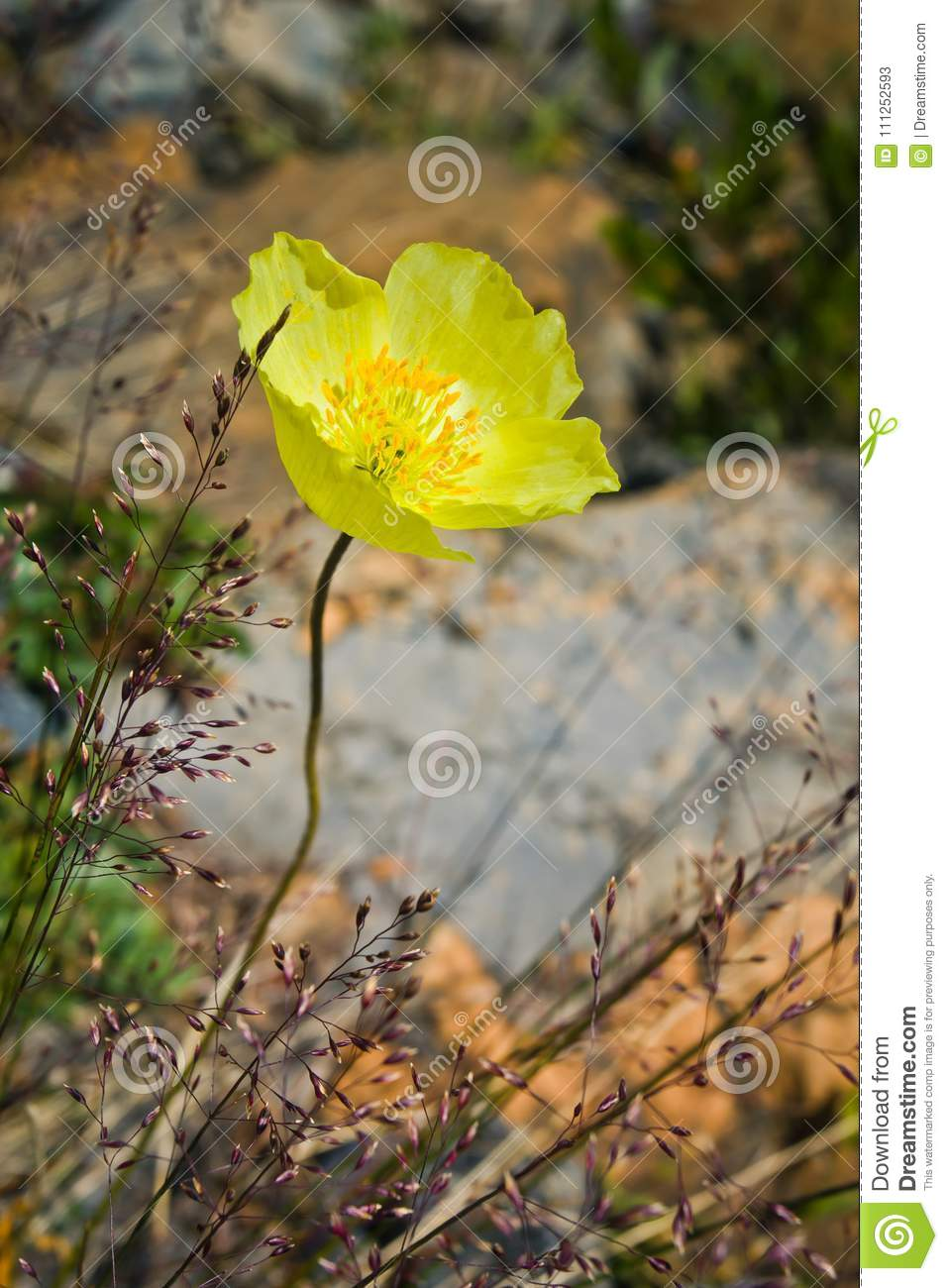Beautifull Single Wild Yellow Mountain Flower Stock Image Image Of