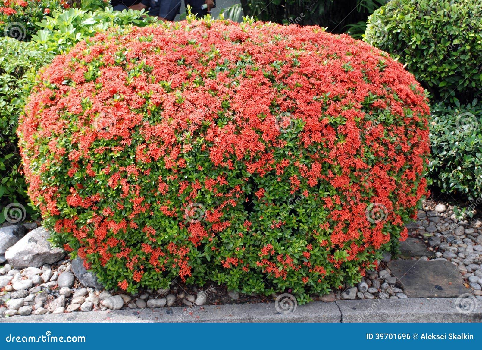 buske med röda blommor