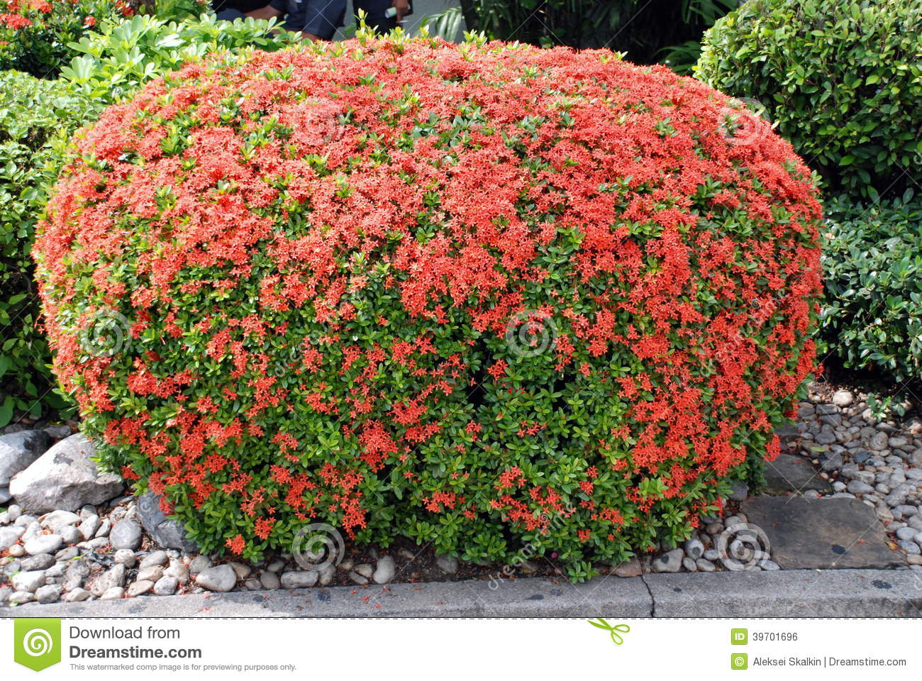 Beautifully manicured green bush with red flowers stock - Arbusto pequeno con flores ...