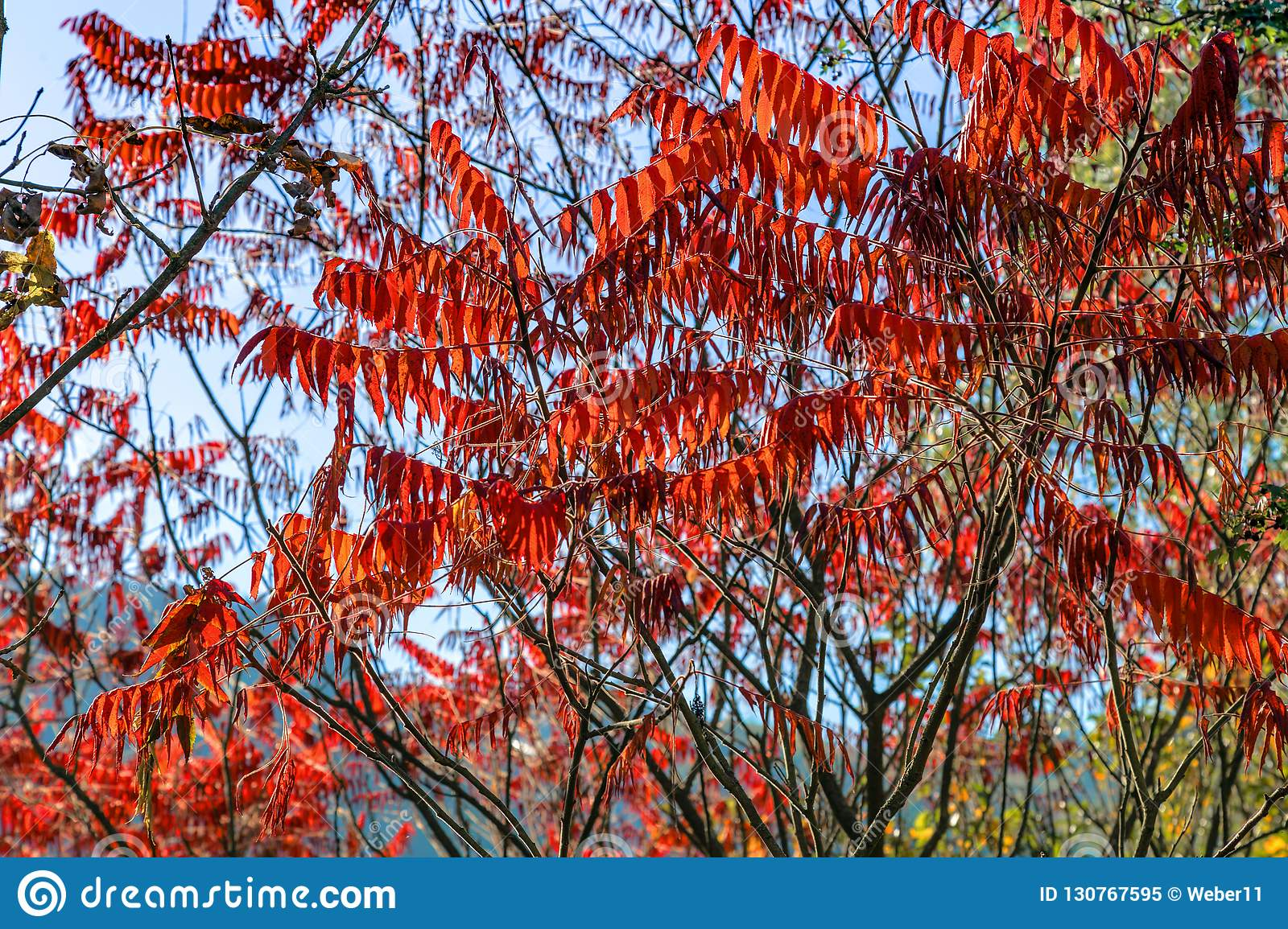 Beauty Of Autumn Acacia Stock Image Image Of Botanical 130767595