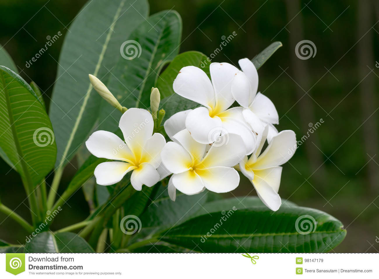 The Beauty Of Champa White Flowers Stock Image Image Of