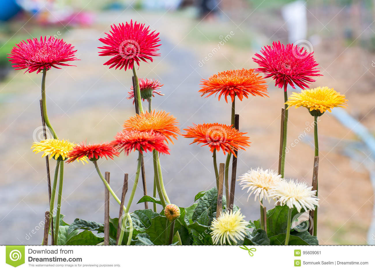 Beauty Color Chrysanthemum Flowers Close Updaisy Flower Stock Image