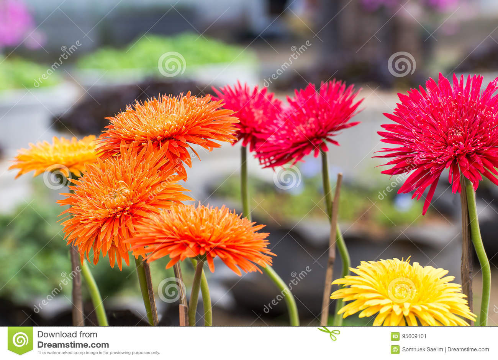 Beauty color chrysanthemum flowers close updaisy flower stock image beauty color chrysanthemum flowers close updaisy flower izmirmasajfo