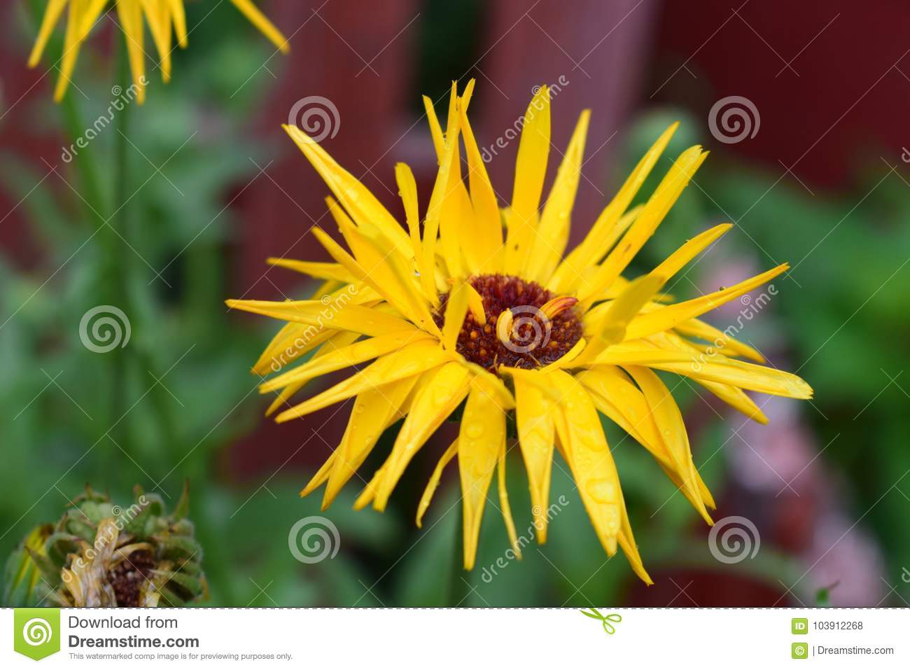 Yellow flower stock photo image of photographed scattered 103912268 a beauty flower who nhas petals scattered and thin mightylinksfo