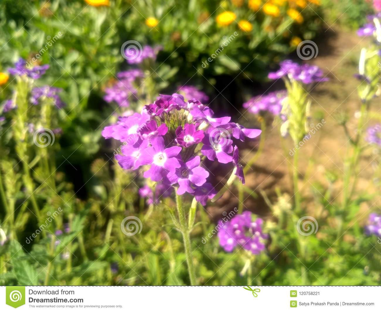 Small Purple Flowers In The Garden Stock Image Image Of Flowers