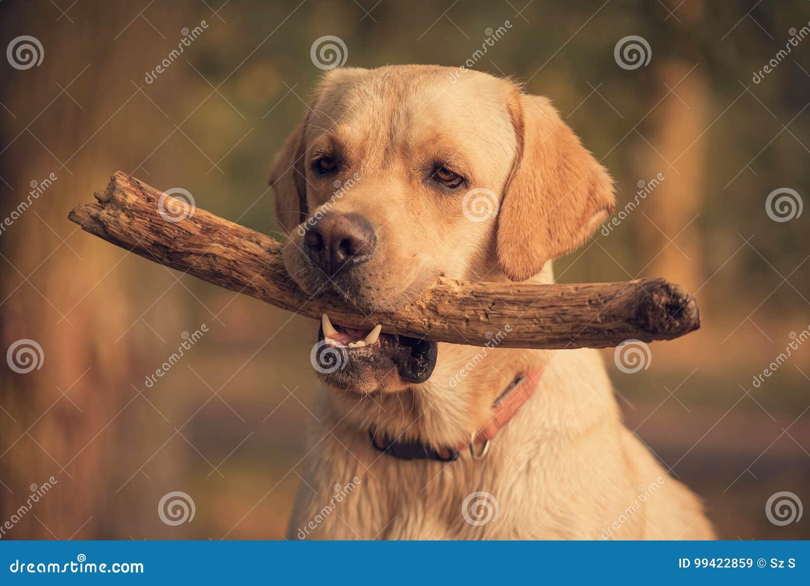 Labrador Retriever dog holding a stick in training