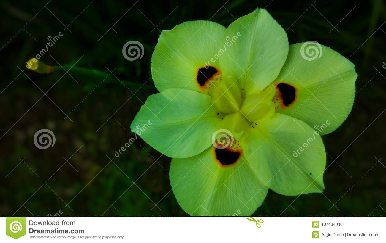 A Yellow Spider Flower Wild African Lily A Flower With Spots Stock