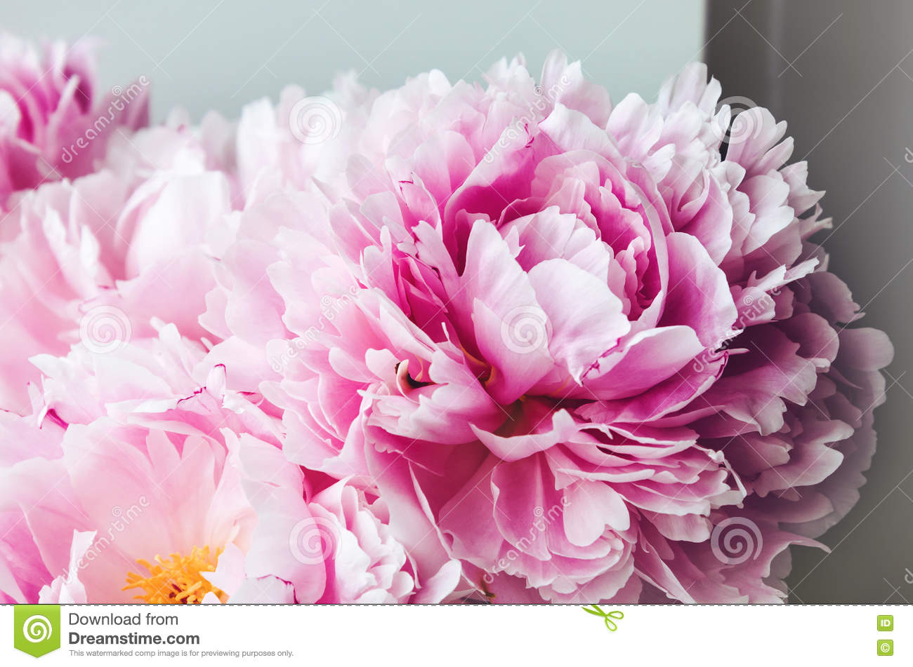 Beauty pink peonies peony roses flower macro. Pastel floral wallpaper, background from flower petals. Holiday wedding concept. Bridal flowers.