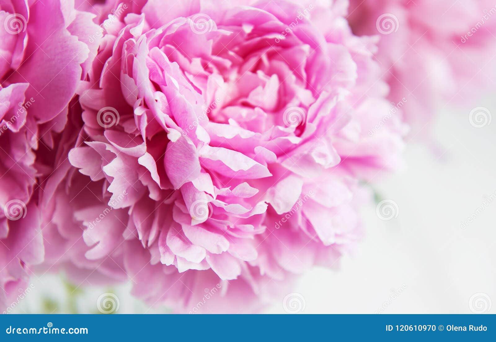 Beauty pink peony flowers stock photo image of blush 120610970 beauty pink peony flowers izmirmasajfo