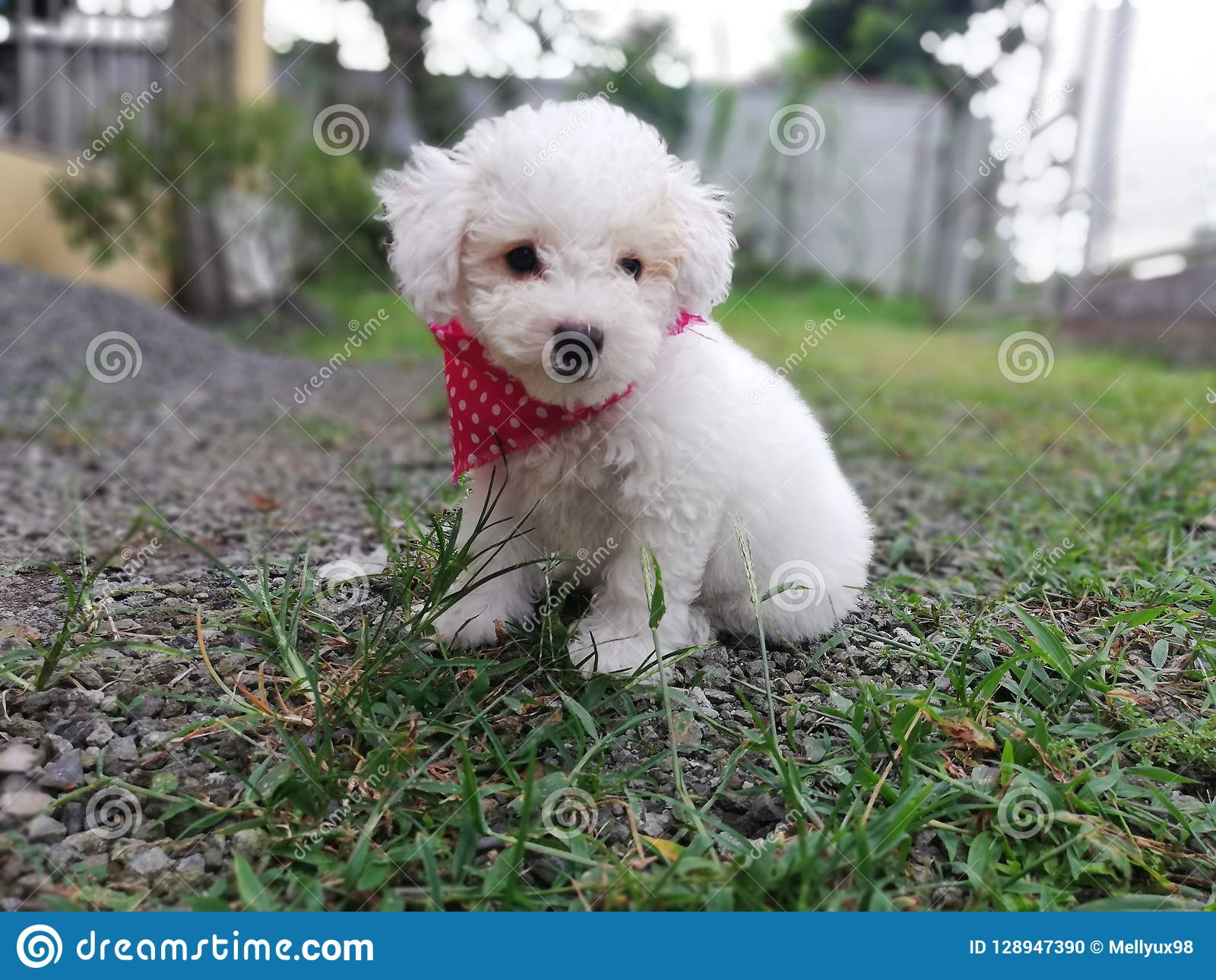 Beauty Puppy Stock Photo Image Of Beauty Poodle Puppy 128947390