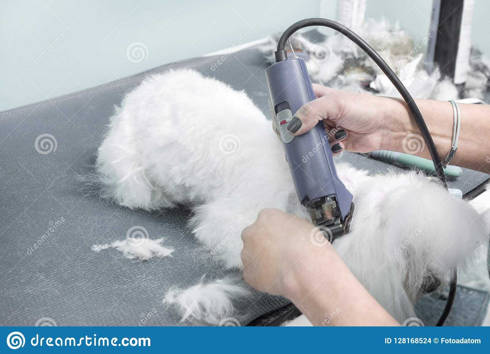 5. A woman cuts a Maltese dog with an electric clipper in an animal beauty salon.