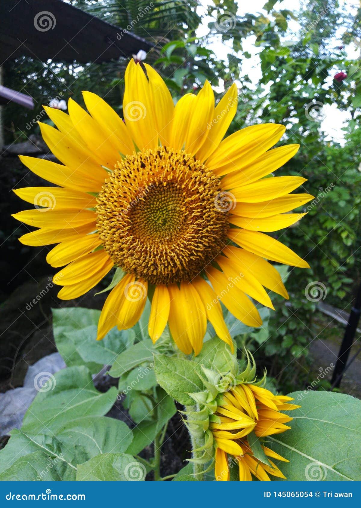beauty sunflowers