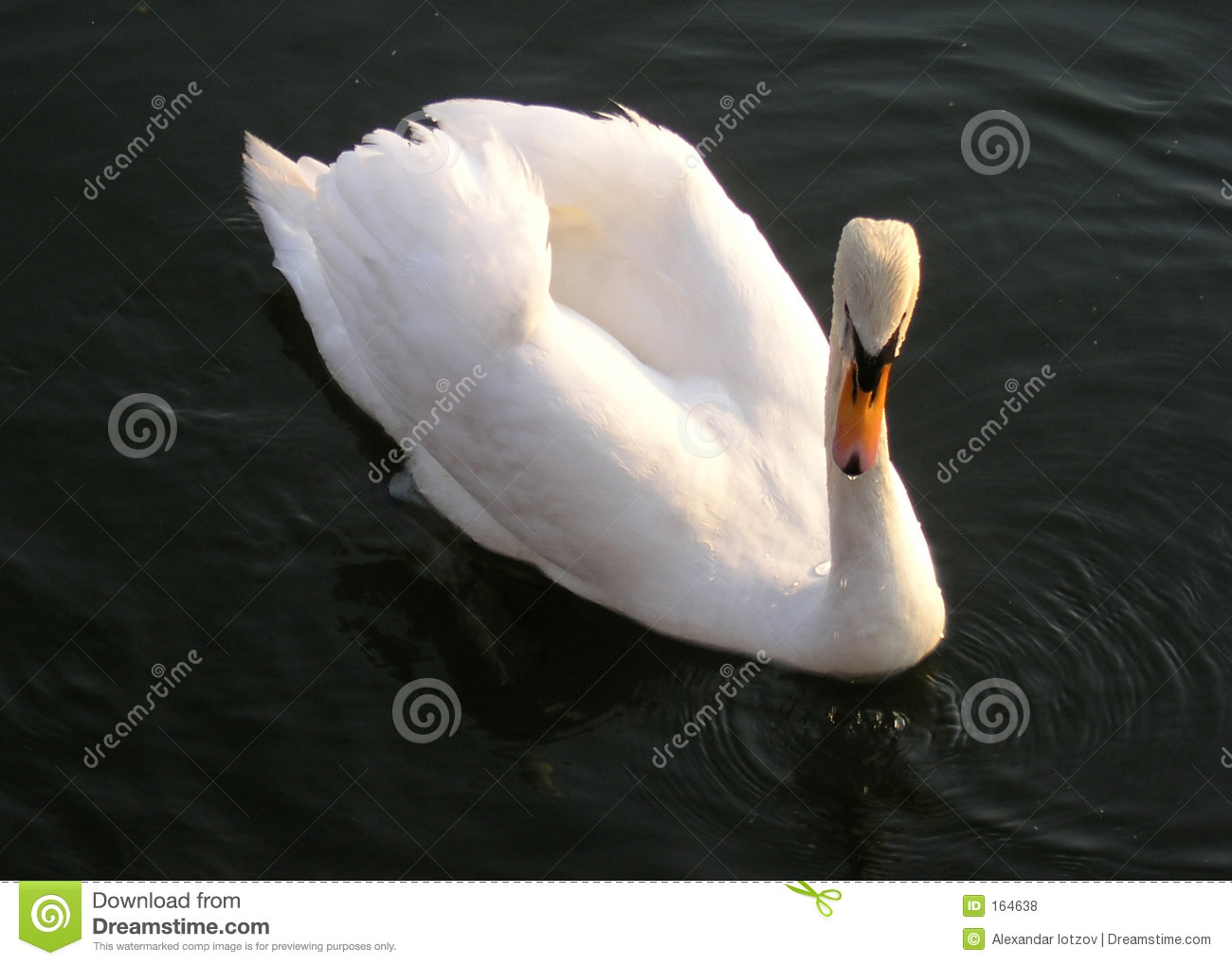 Beauty of swan