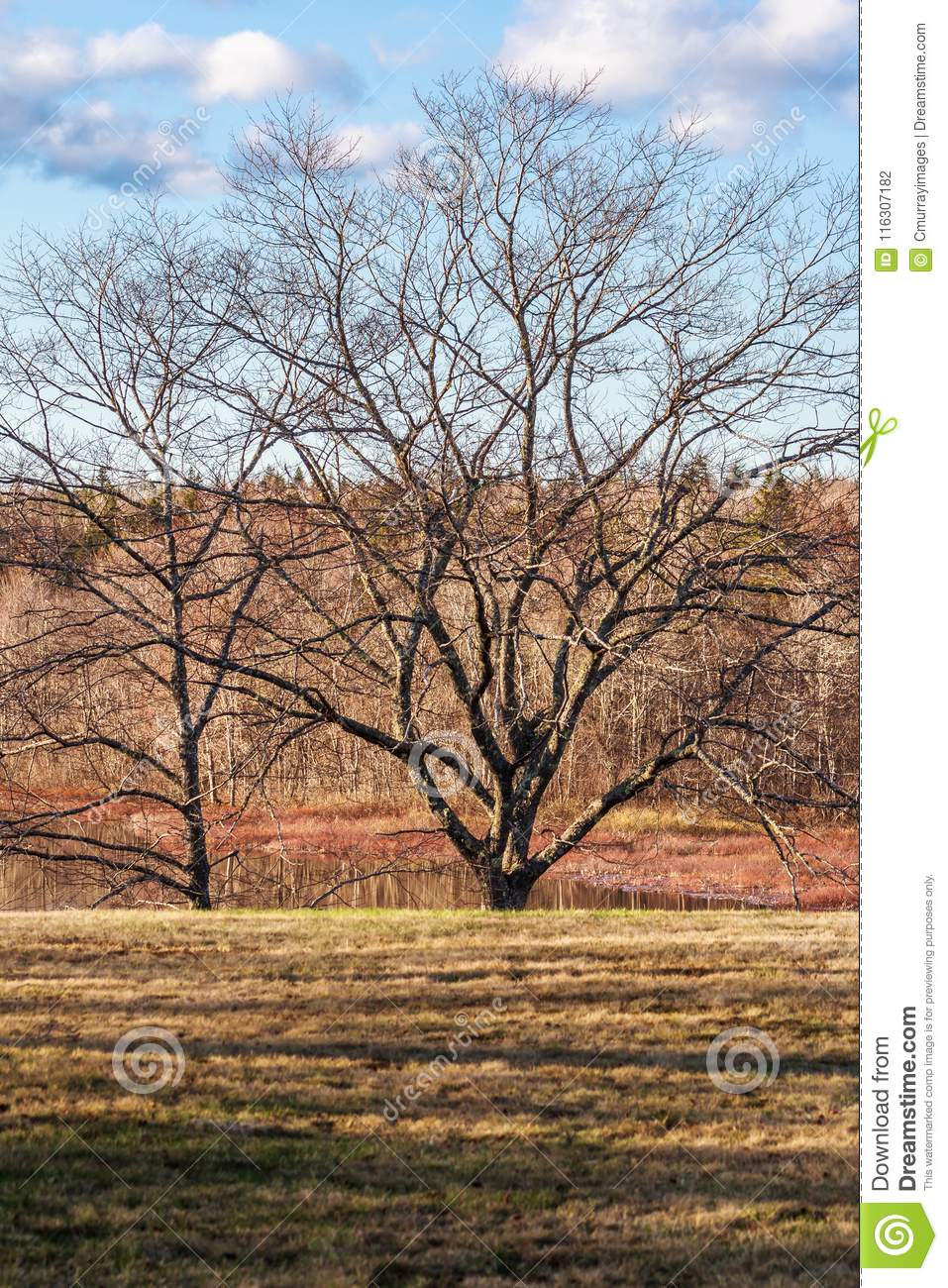 Bare Tree At Beginning Of Spring Stock Photo Image Of Tree